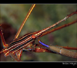 Arrow Crab feeding itself with big blue claw.......Canon ... by Brian Mayes 